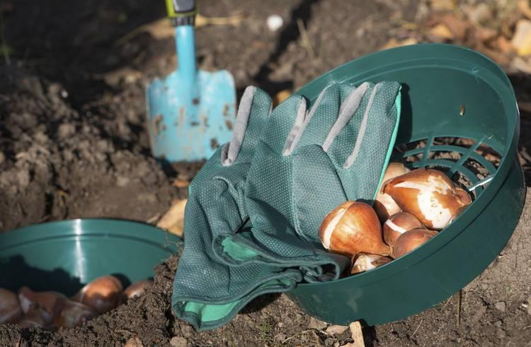 Comment planter les bulbes de printemps infos jardin - Bulbes a planter au printemps ...