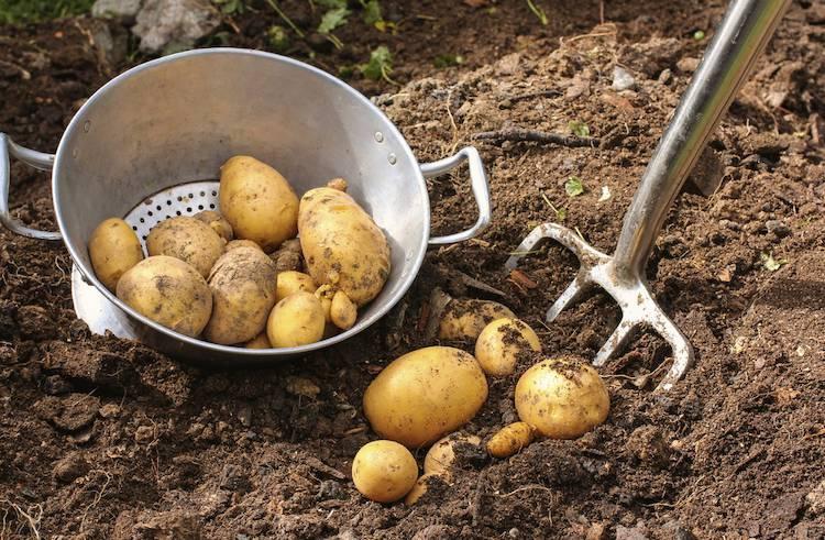 Nos conseils pour r colter et conserver les pommes de - Comment conserver des pommes de terre coupees ...